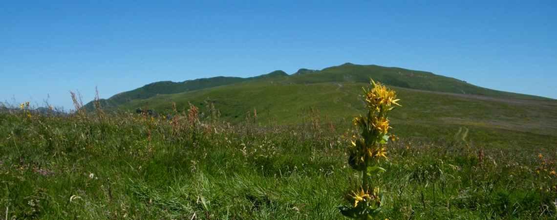 Gentiane sur les monts du Cantal